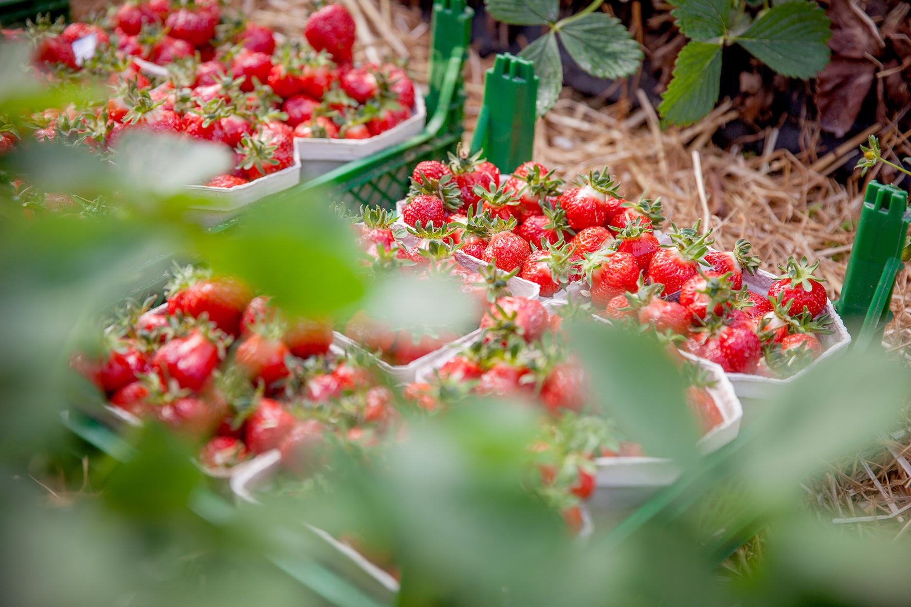 Deutsche Erdbeeren - die Königin der Beeren